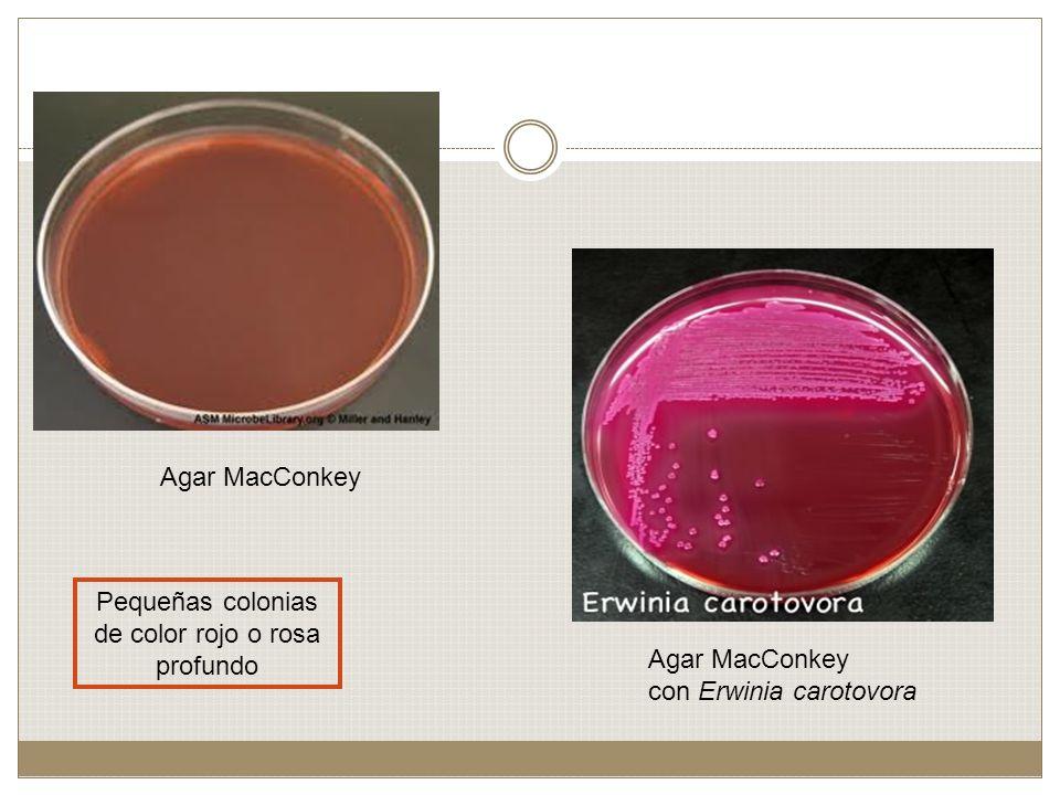 Agar MacConkey con Erwinia carotovora Pequeñas colonias de color rojo o rosa profundo