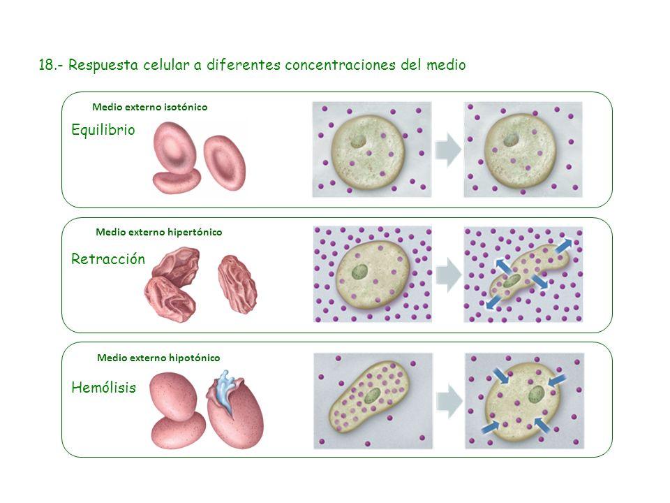 Equilibrio Retracción Hemólisis 18.- Respuesta celular a diferentes concentraciones del medio Medio externo hipertónico Medio externo hipotónico Medio