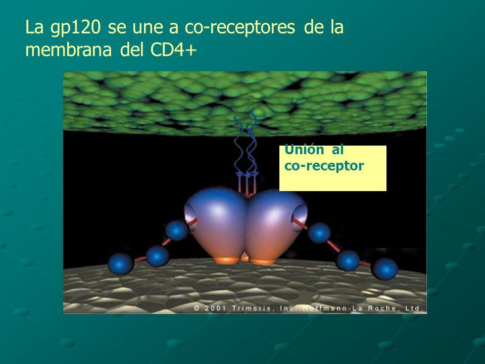 La gp120 se une a co-receptores de la membrana del CD4+ Unión al co-receptor