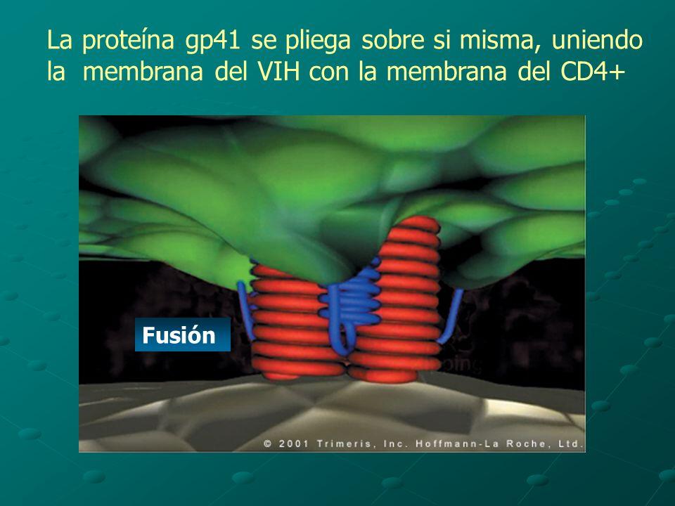 La proteína gp41 se pliega sobre si misma, uniendo la membrana del VIH con la membrana del CD4+ Fusión