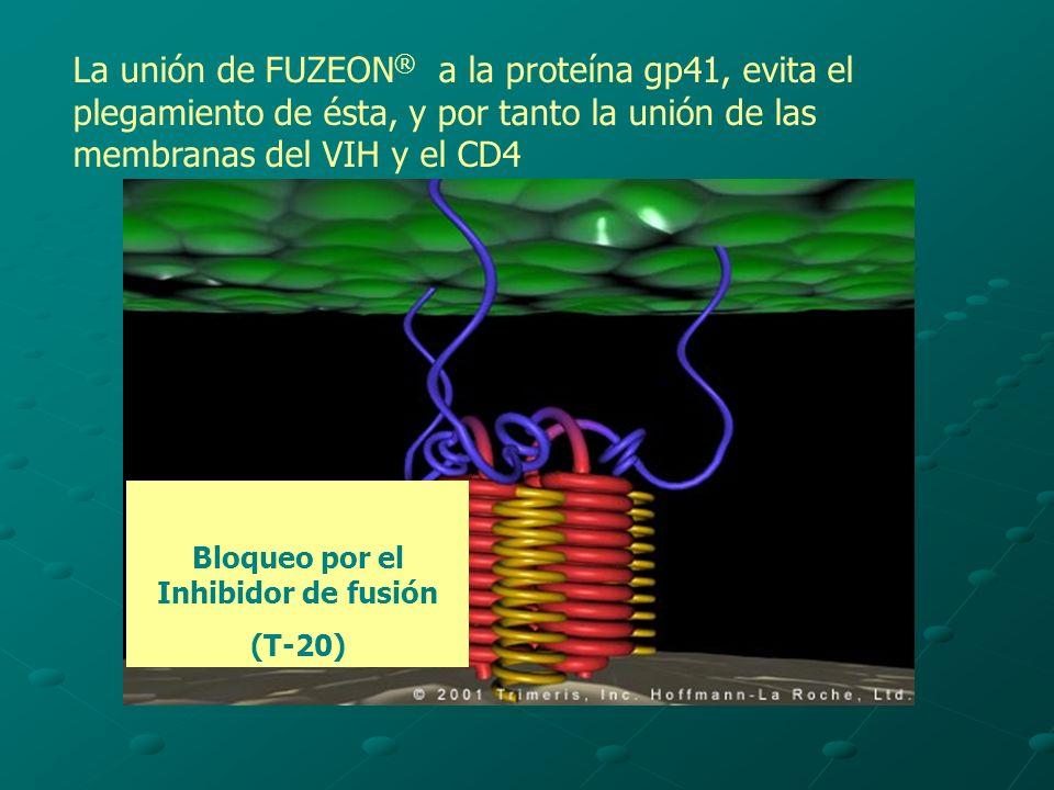 Bloqueo por el Inhibidor de fusión (T-20) La unión de FUZEON ® a la proteína gp41, evita el plegamiento de ésta, y por tanto la unión de las membranas