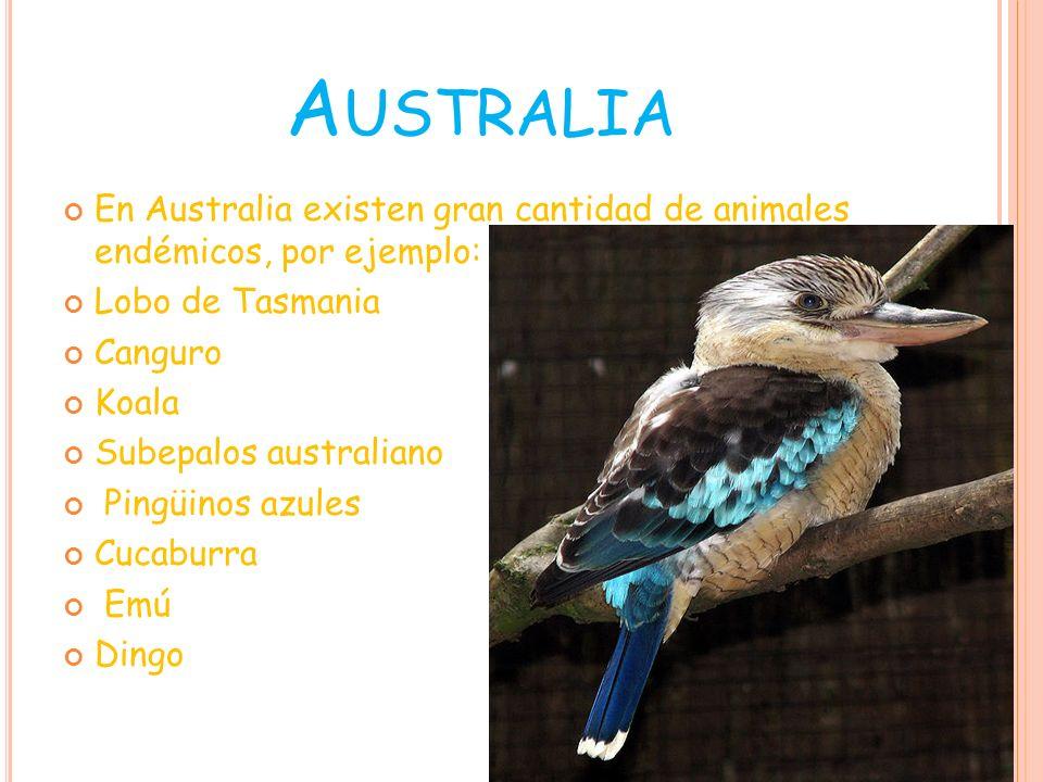 Dingo Pingüinos azules Lobo de Tasmania Emú