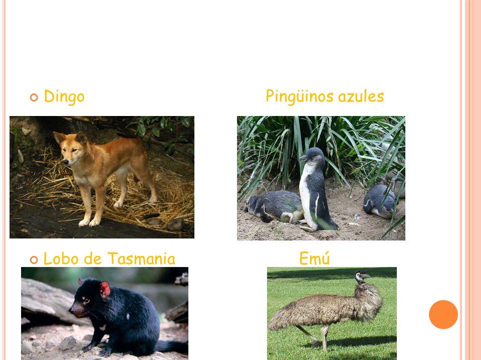 N UEVA Z ELANDA Como Australia, Nueva Zelanda ha creado importantes especies endémicas como: Reptiles, por ejemplo : Escincos, Geckos, Tuatara… Ranas Arañas como el Katipo Aves, Kiwi, Kakapo, Tihae Insectos como el Wepa