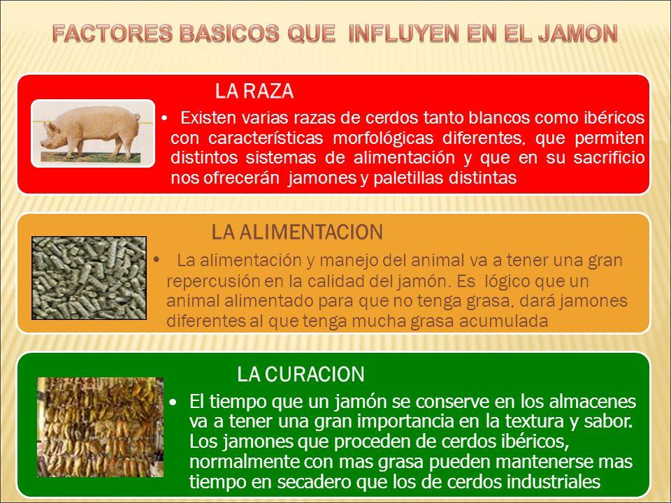 LA RAZA Existen varias razas de cerdos tanto blancos como ibéricos con características morfológicas diferentes, que permiten distintos sistemas de ali
