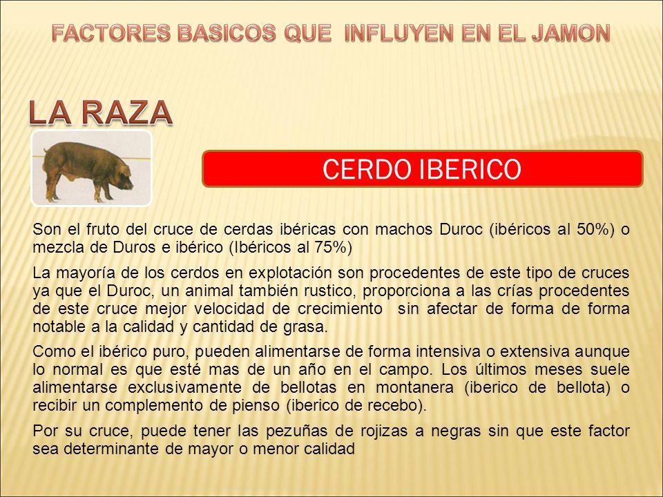 CERDO IBERICO Son el fruto del cruce de cerdas ibéricas con machos Duroc (ibéricos al 50%) o mezcla de Duros e ibérico (Ibéricos al 75%) La mayoría de
