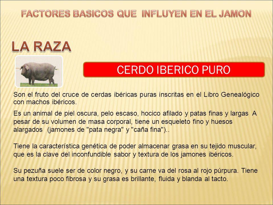 CERDO IBERICO PURO Son el fruto del cruce de cerdas ibéricas puras inscritas en el Libro Genealógico con machos ibéricos. Es un animal de piel oscura,