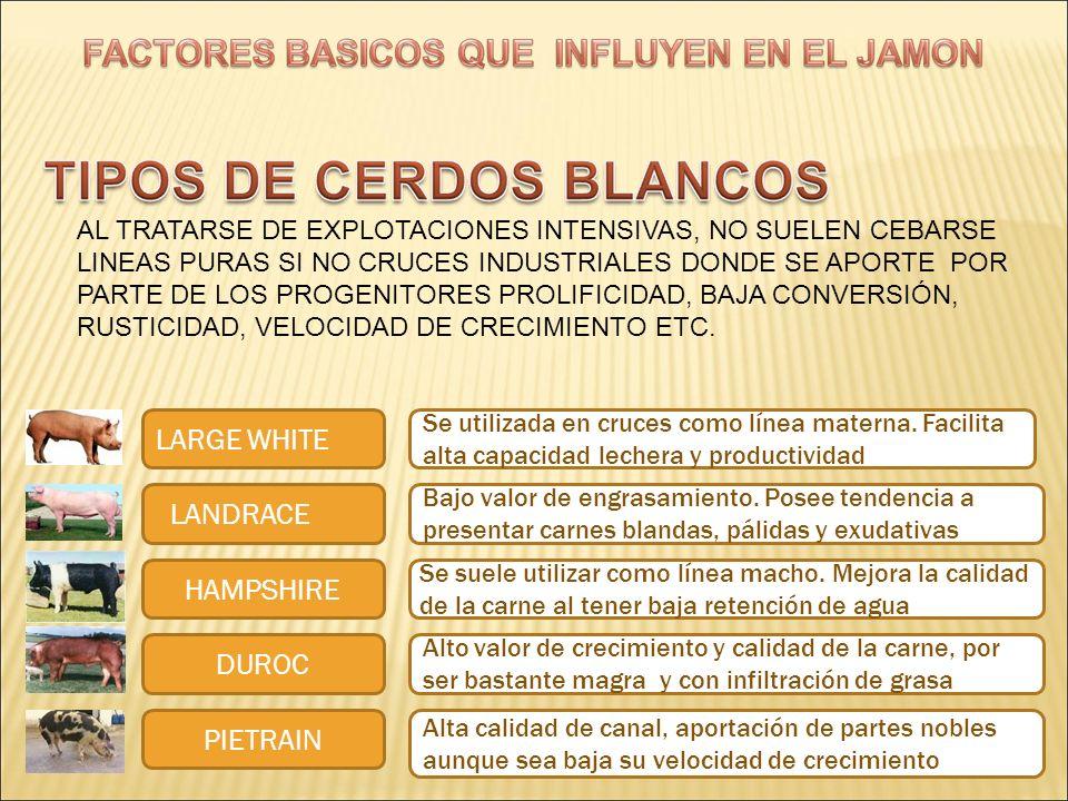 LARGE WHITE LANDRACE HAMPSHIRE DUROC PIETRAIN Se utilizada en cruces como línea materna. Facilita alta capacidad lechera y productividad Bajo valor de