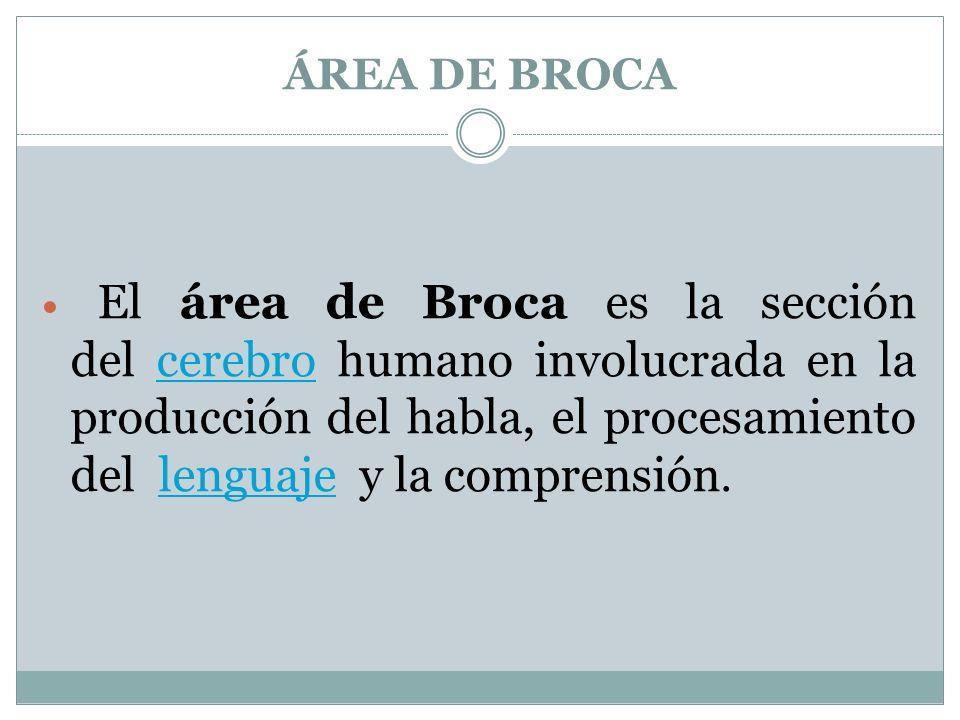 ÁREA DE BROCA El área de Broca es la sección del cerebro humano involucrada en la producción del habla, el procesamiento del lenguaje y la comprensión.cerebrolenguaje