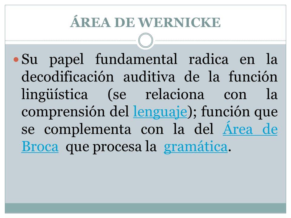 ÁREA DE WERNICKE Su papel fundamental radica en la decodificación auditiva de la función lingüística (se relaciona con la comprensión del lenguaje); función que se complementa con la del Área de Broca que procesa la gramática.lenguajeÁrea de Brocagramática