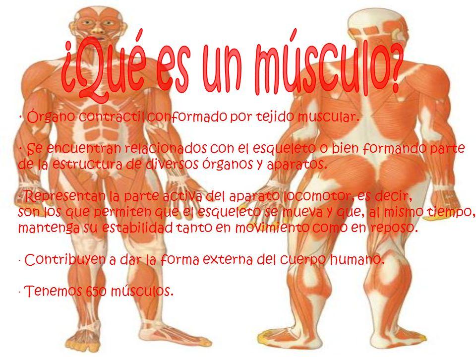 · Órgano contráctil conformado por tejido muscular. · Se encuentran relacionados con el esqueleto o bien formando parte de la estructura de diversos ó