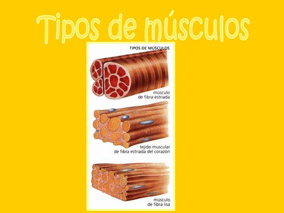 Atendiendo a su forma los músculos se pueden clasificar en: · Anchos y planos: protegen los órganos delicados e intervienen en los movimientos de la respiración.