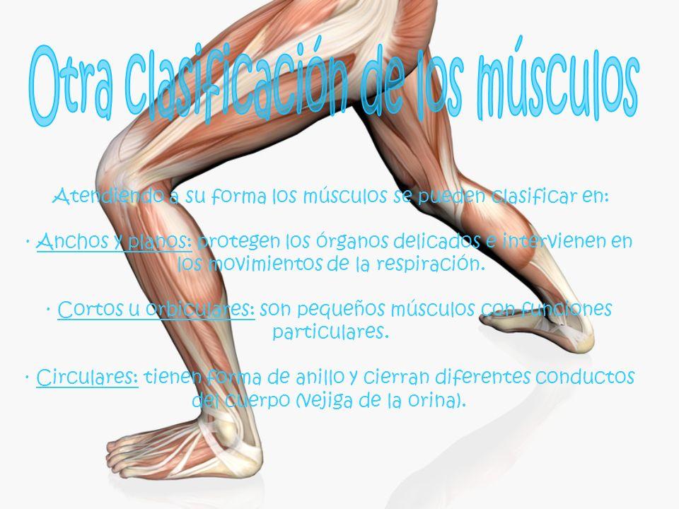 Atendiendo a su forma los músculos se pueden clasificar en: · Anchos y planos: protegen los órganos delicados e intervienen en los movimientos de la r
