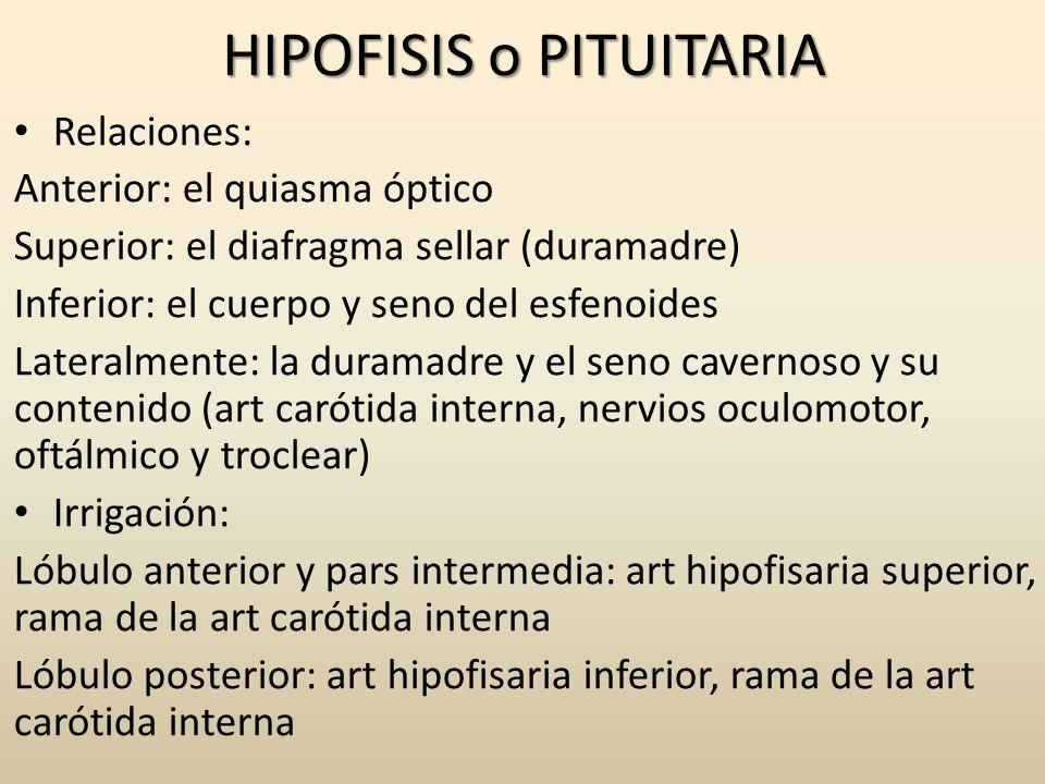 HIPOFISIS o PITUITARIA Relaciones: Anterior: el quiasma óptico Superior: el diafragma sellar (duramadre) Inferior: el cuerpo y seno del esfenoides Lat