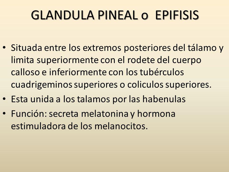 GLANDULA PINEAL o EPIFISIS Situada entre los extremos posteriores del tálamo y limita superiormente con el rodete del cuerpo calloso e inferiormente c
