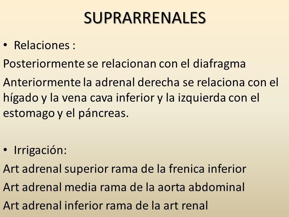 SUPRARRENALES Relaciones : Posteriormente se relacionan con el diafragma Anteriormente la adrenal derecha se relaciona con el hígado y la vena cava in