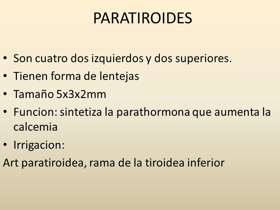 PARATIROIDES Son cuatro dos izquierdos y dos superiores. Tienen forma de lentejas Tamaño 5x3x2mm Funcion: sintetiza la parathormona que aumenta la cal