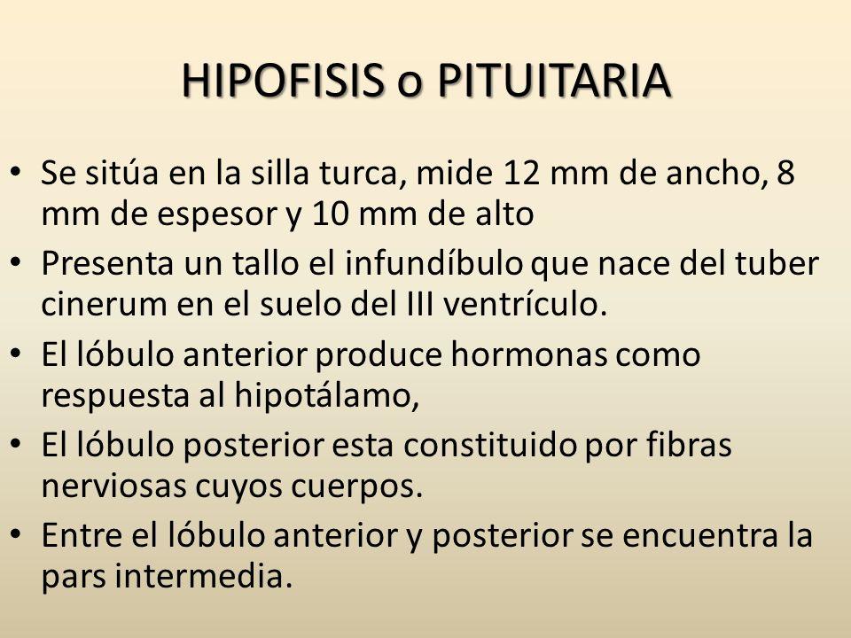 HIPOFISIS o PITUITARIA Se sitúa en la silla turca, mide 12 mm de ancho, 8 mm de espesor y 10 mm de alto Presenta un tallo el infundíbulo que nace del