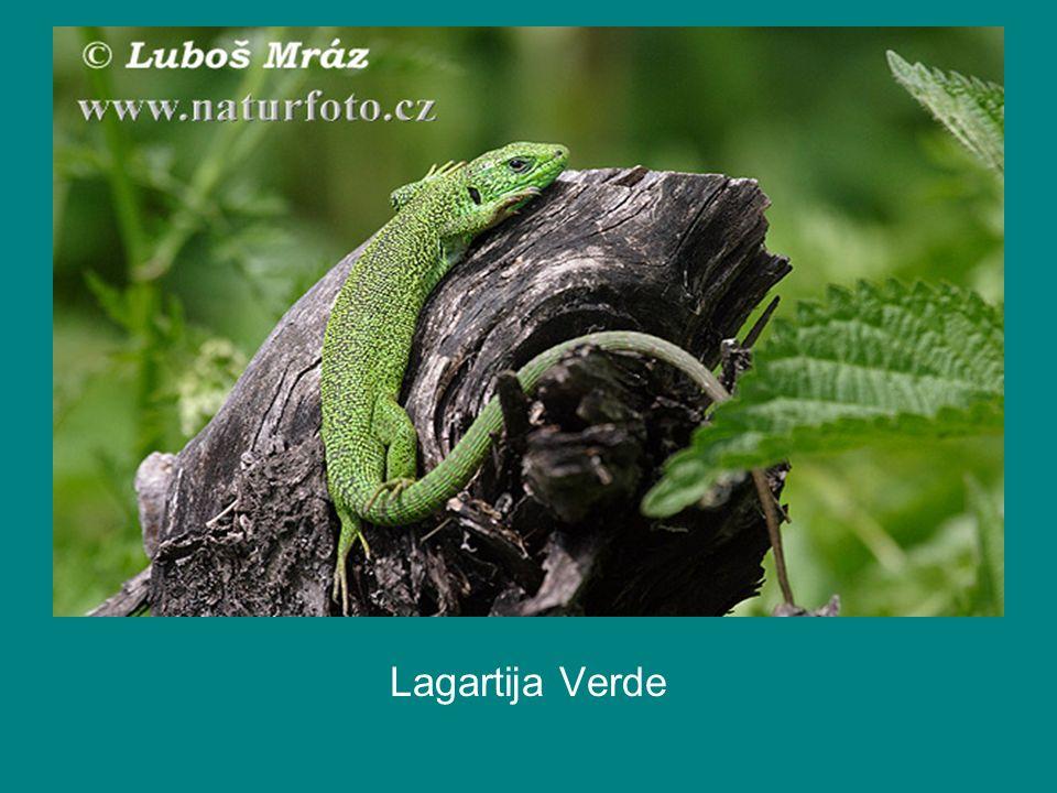Lagartija Verde