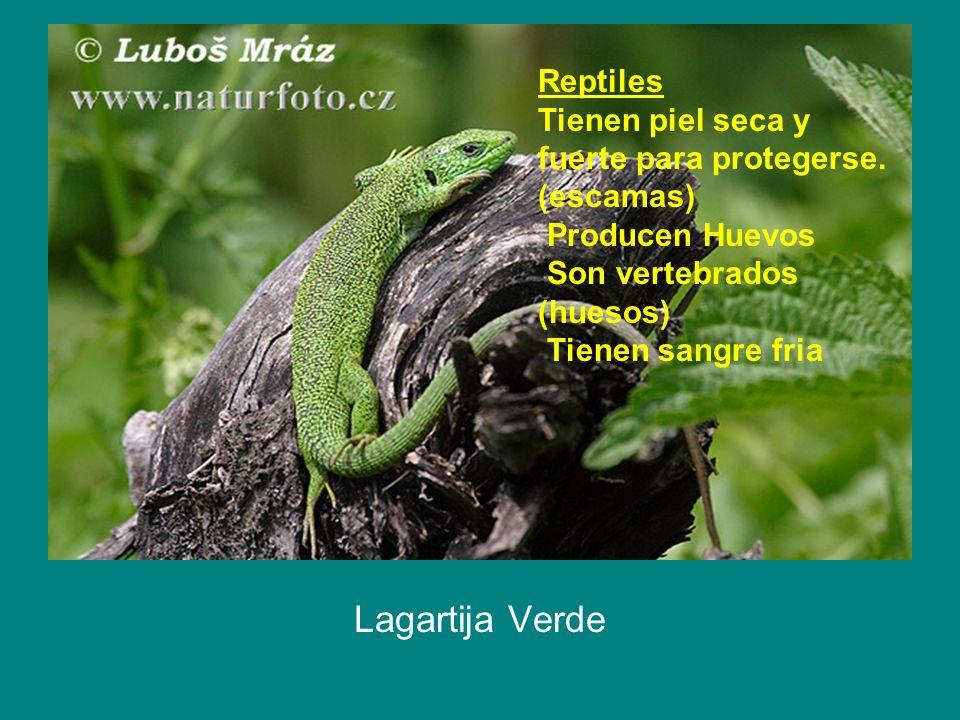 Reptiles Tienen piel seca y fuerte para protegerse. (escamas) Producen Huevos Son vertebrados (huesos) Tienen sangre fria