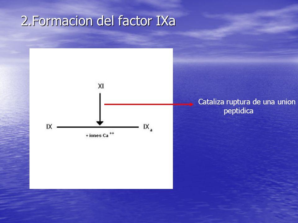 2.Formacion del factor IXa Cataliza ruptura de una union peptidica