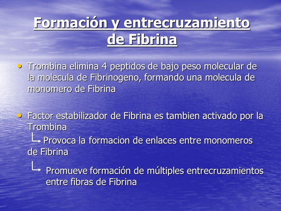 Formación y entrecruzamiento de Fibrina Formación y entrecruzamiento de Fibrina Trombina elimina 4 peptidos de bajo peso molecular de la molecula de F