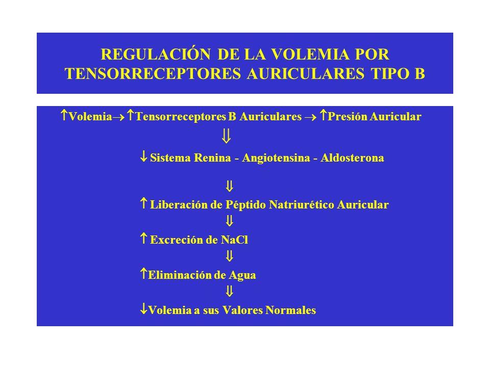 REGULACIÓN DE LA VOLEMIA POR TENSORRECEPTORES AURICULARES TIPO B Volemia Tensorreceptores B Auriculares Presión Auricular Sistema Renina - Angiotensin