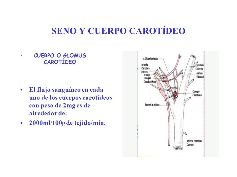 SENO Y CUERPO CAROTÍDEO CUERPO O GLOMUS CAROTÍDEO El flujo sanguíneo en cada uno de los cuerpos carotídeos con peso de 2mg es de alrededor de: 2000ml/