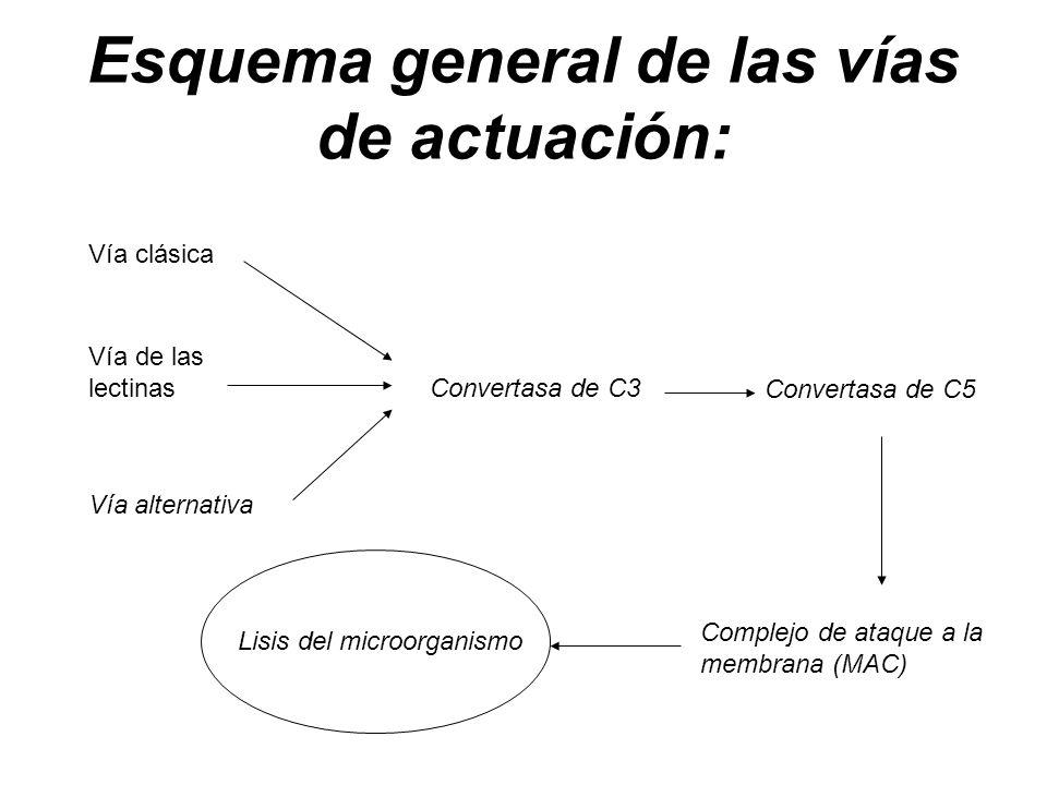 Esquema general de las vías de actuación: Vía clásica Vía de las lectinas Vía alternativa Complejo de ataque a la membrana (MAC) Lisis del microorgani