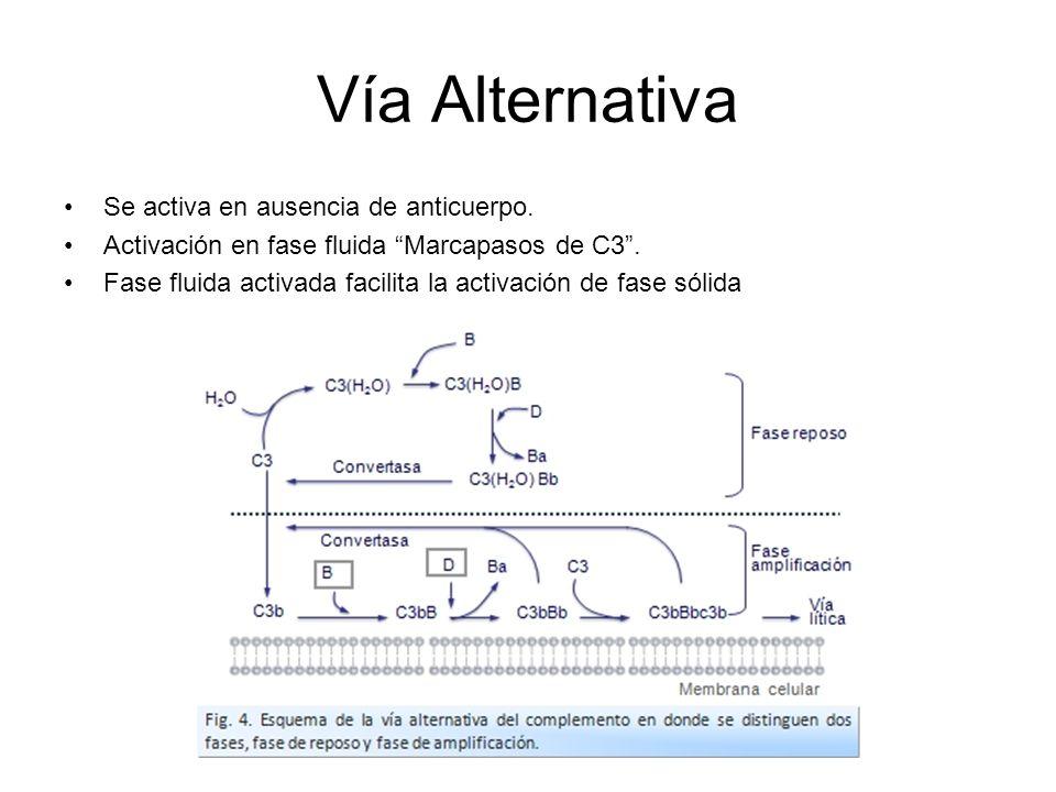 Vía Alternativa Se activa en ausencia de anticuerpo. Activación en fase fluida Marcapasos de C3. Fase fluida activada facilita la activación de fase s