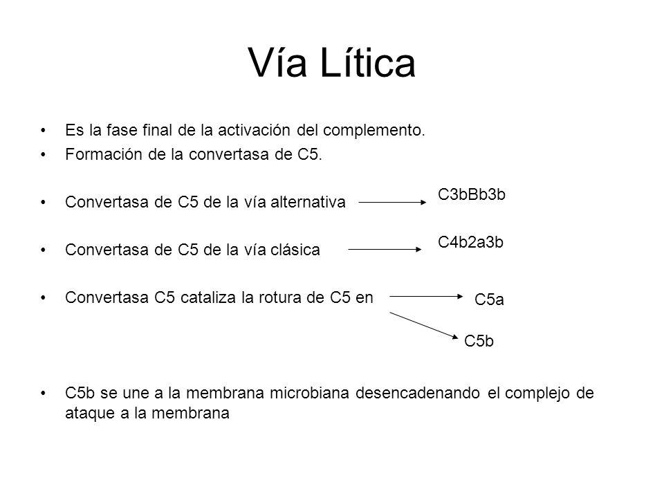 Complejo de ataque a la membrana (MAC) C5b se una a la membrana y se le van añadiendo ordenadamente lo complejo C6, C7, C8, y C9 Se forma el complejo C5b6789 Se forma un tipo de canal en la superficie bacteriana, de 10 nM de diámetro aprox.