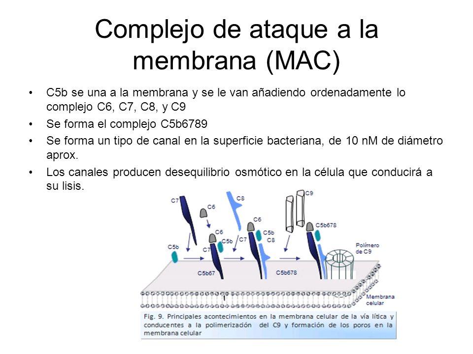 Complejo de ataque a la membrana (MAC) C5b se una a la membrana y se le van añadiendo ordenadamente lo complejo C6, C7, C8, y C9 Se forma el complejo