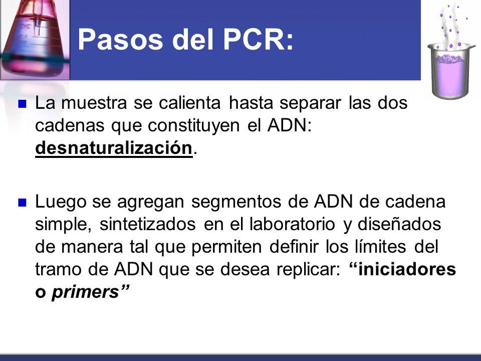 Pasos del PCR: La muestra se calienta hasta separar las dos cadenas que constituyen el ADN: desnaturalización. Luego se agregan segmentos de ADN de ca