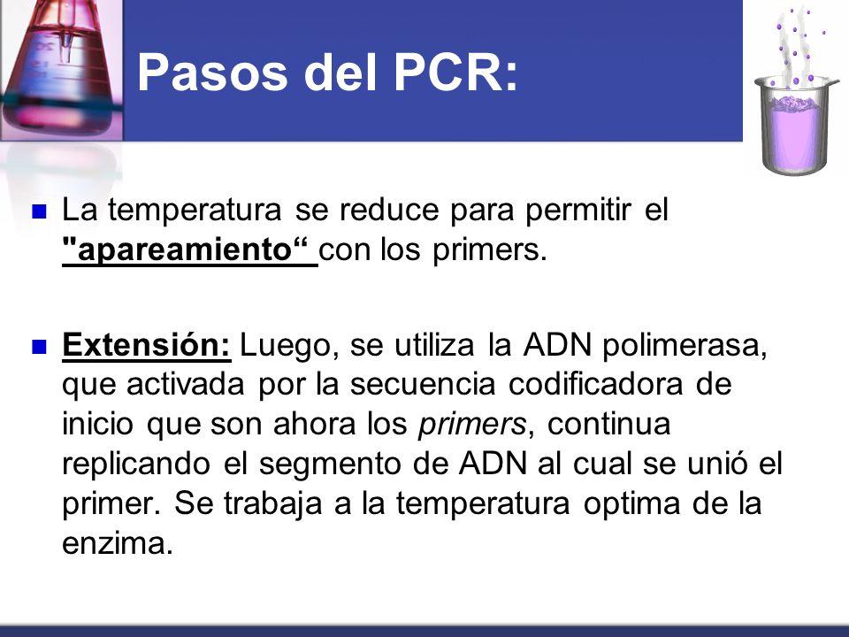Pasos del PCR: La temperatura se reduce para permitir el