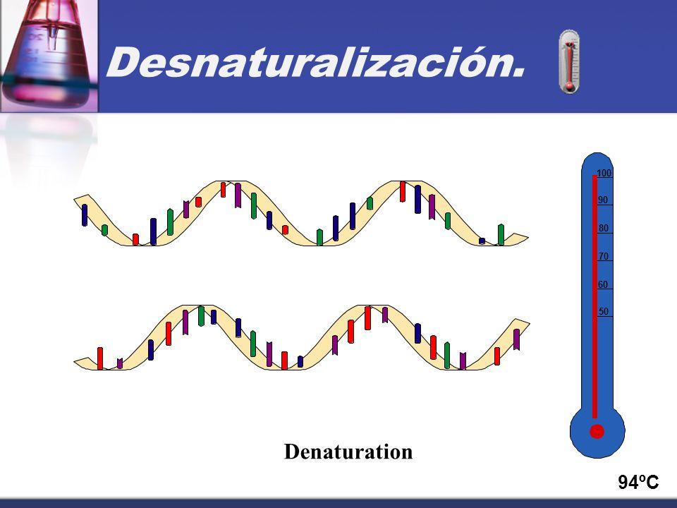 50 60 70 80 90 100 94ºC Denaturation Desnaturalización.