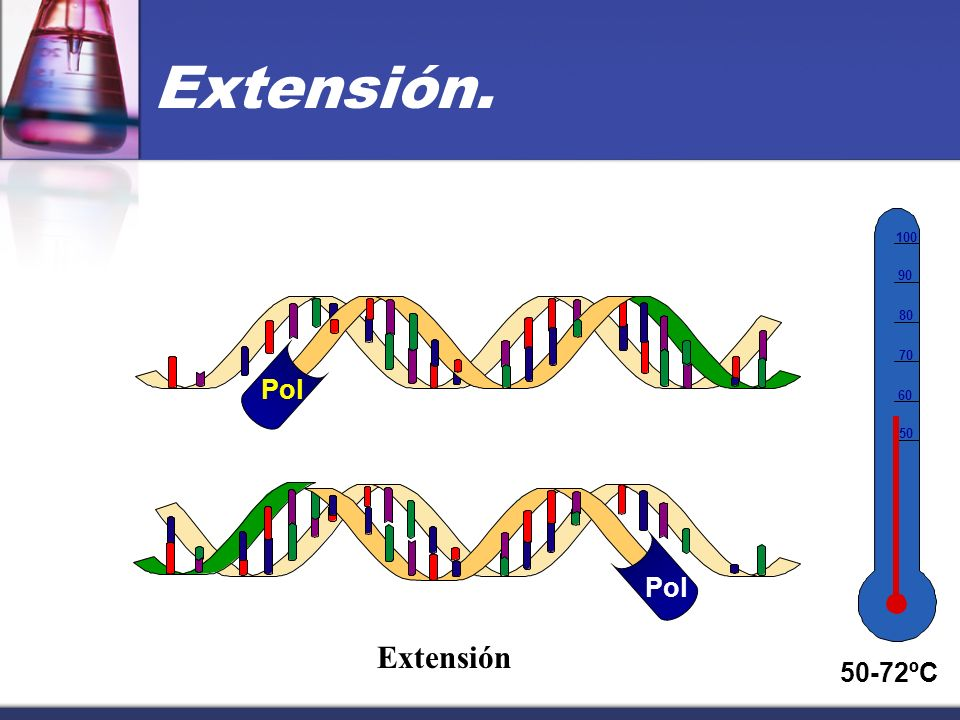 ADN Duplicado 50 60 70 80 90 100 50-72°C Todo queda duplicado