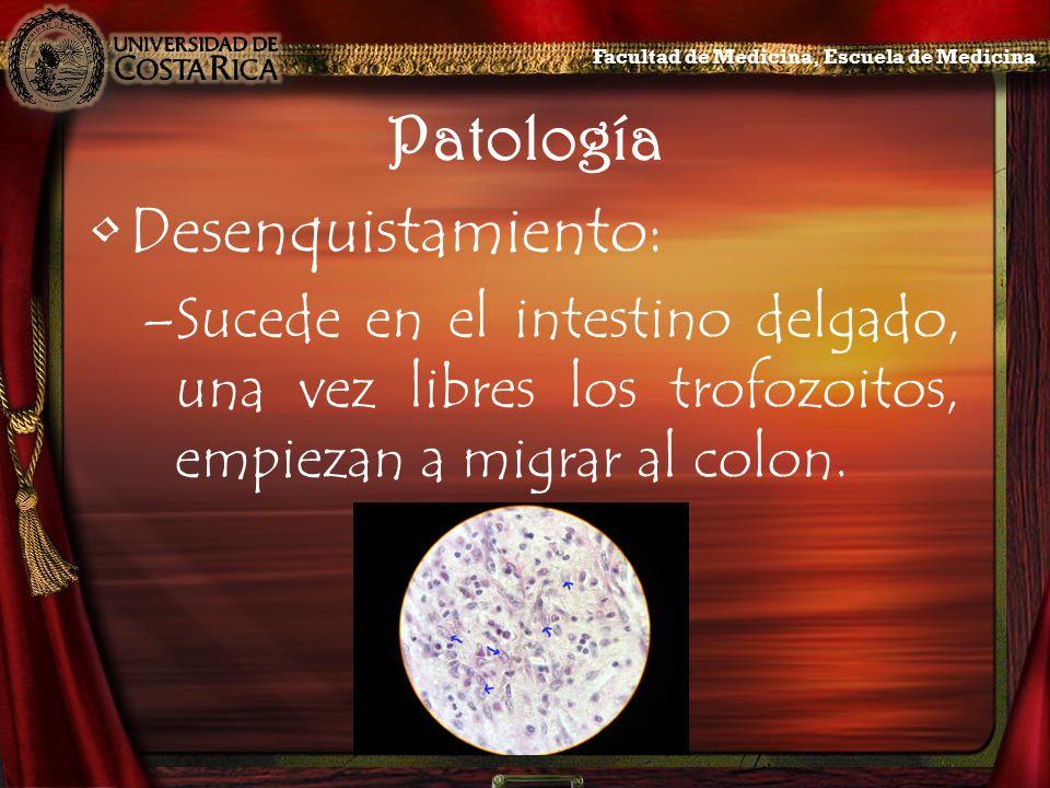 Patología Desenquistamiento: –Sucede en el intestino delgado, una vez libres los trofozoitos, empiezan a migrar al colon. Facultad de Medicina, Escuel
