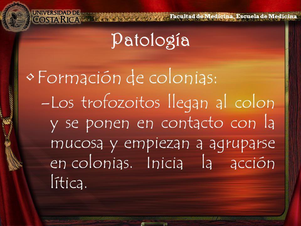 Patología Formación de colonias: –Los trofozoitos llegan al colon y se ponen en contacto con la mucosa y empiezan a agruparse en colonias.Inicia la ac