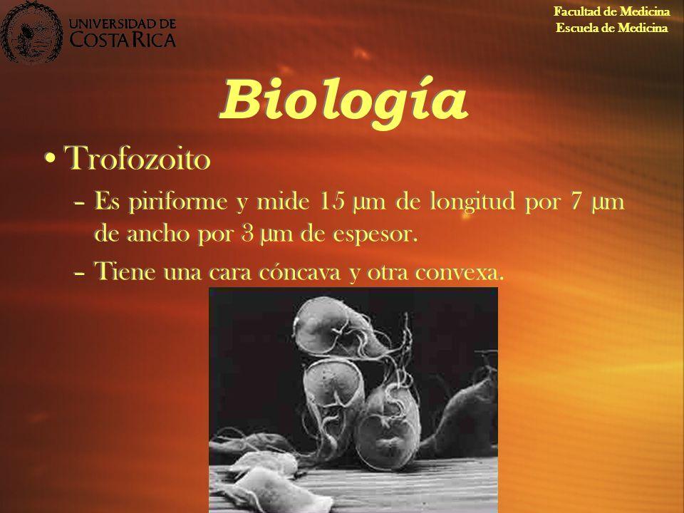 Biología Trofozoito –Es piriforme y mide 15 µm de longitud por 7 µm de ancho por 3 µm de espesor. –Tiene una cara cóncava y otra convexa. Trofozoito –