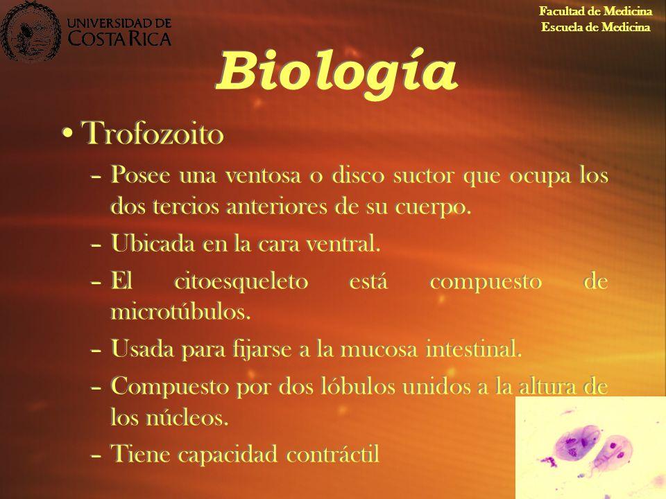 Biología Trofozoito –Posee una ventosa o disco suctor que ocupa los dos tercios anteriores de su cuerpo. –Ubicada en la cara ventral. –El citoesquelet