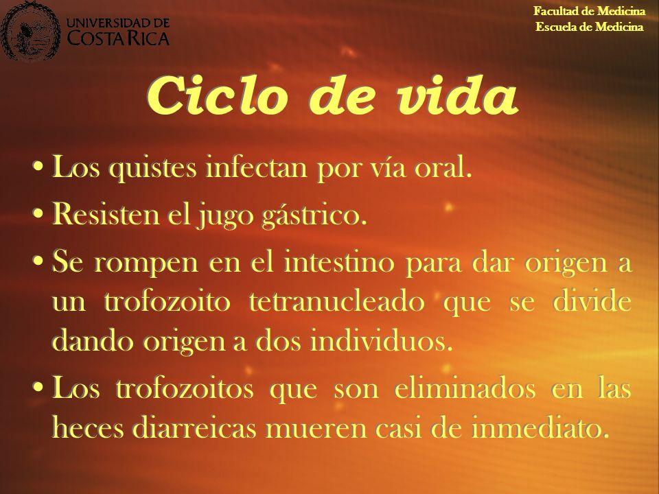 Ciclo de vida Los quistes infectan por vía oral. Resisten el jugo gástrico. Se rompen en el intestino para dar origen a un trofozoito tetranucleado qu