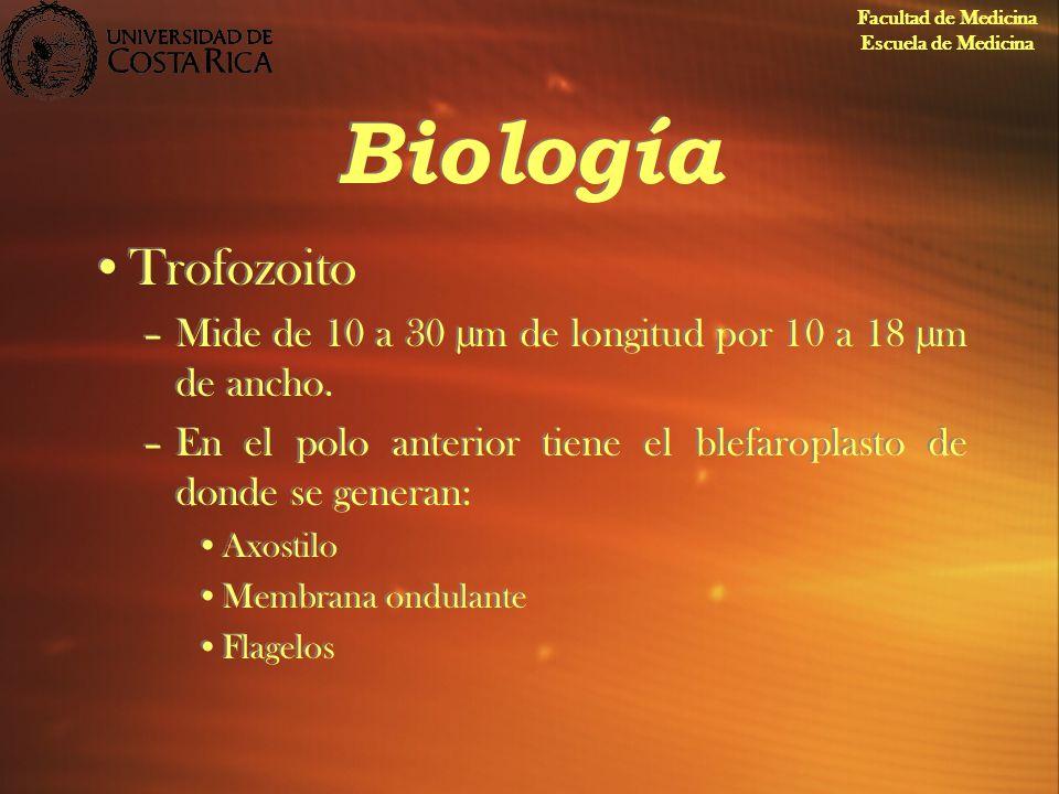 Biología Trofozoito –Mide de 10 a 30 µm de longitud por 10 a 18 µm de ancho. –En el polo anterior tiene el blefaroplasto de donde se generan: Axostilo