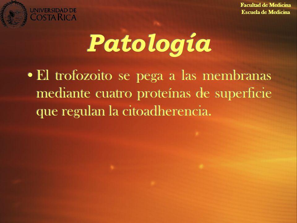 Patología El trofozoito se pega a las membranas mediante cuatro proteínas de superficie que regulan la citoadherencia. Facultad de Medicina Escuela de