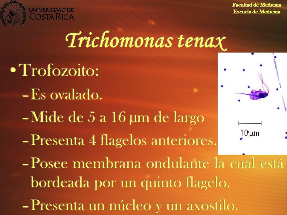 Trichomonas tenax Trofozoito: –Es ovalado. –Mide de 5 a 16 µm de largo –Presenta 4 flagelos anteriores. –Posee membrana ondulante la cual está bordead