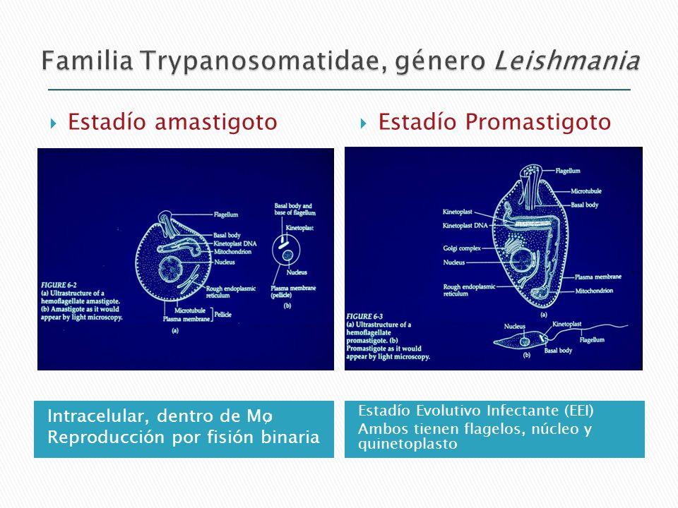 Intracelular, dentro de Mo Reproducción por fisión binaria Estadío Evolutivo Infectante (EEI) Ambos tienen flagelos, núcleo y quinetoplasto Estadío am