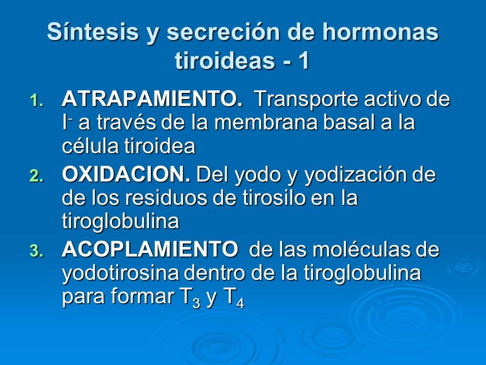 Síntesis y secreción de hormonas tiroideas - 1 1. ATRAPAMIENTO. Transporte activo de I - a través de la membrana basal a la célula tiroidea 2. OXIDACI