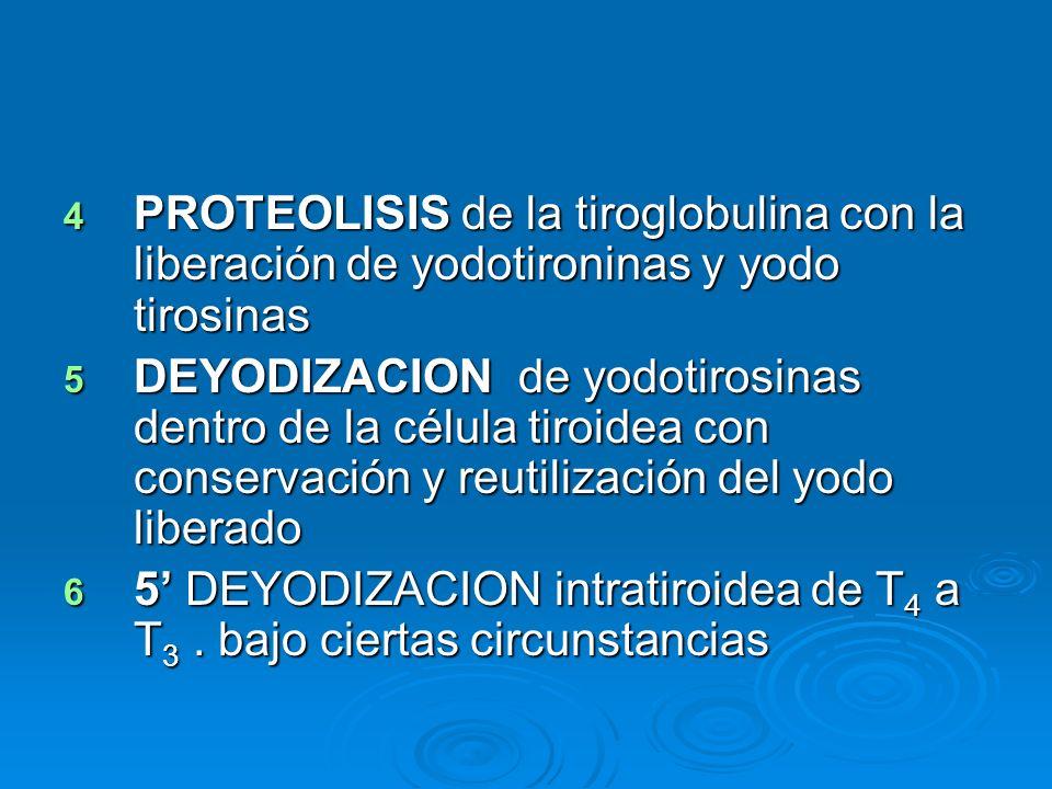 4 PROTEOLISIS de la tiroglobulina con la liberación de yodotironinas y yodo tirosinas 5 DEYODIZACION de yodotirosinas dentro de la célula tiroidea con