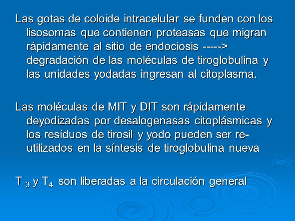 Las gotas de coloide intracelular se funden con los lisosomas que contienen proteasas que migran rápidamente al sitio de endociosis -----> degradación