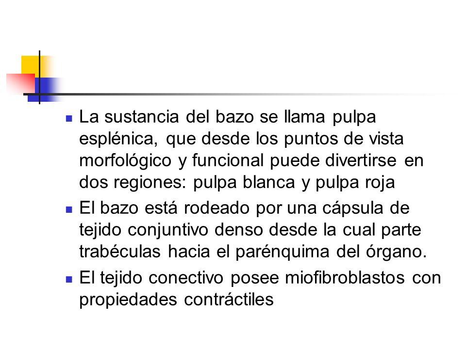 La sustancia del bazo se llama pulpa esplénica, que desde los puntos de vista morfológico y funcional puede divertirse en dos regiones: pulpa blanca y