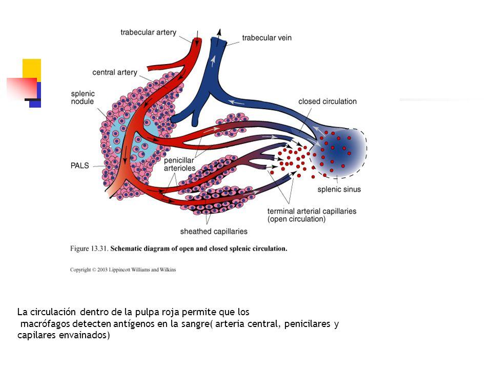 La circulación dentro de la pulpa roja permite que los macrófagos detecten antígenos en la sangre( arteria central, penicilares y capilares envainados