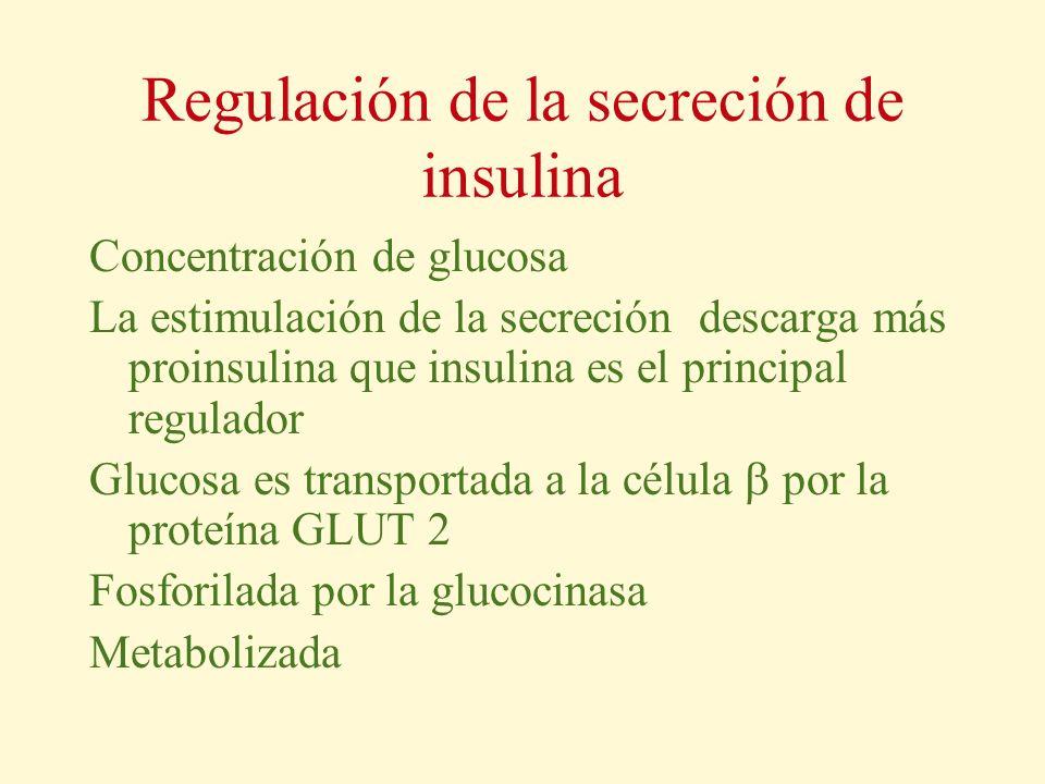 Regulación de la secreción de insulina Concentración de glucosa La estimulación de la secreción descarga más proinsulina que insulina es el principal